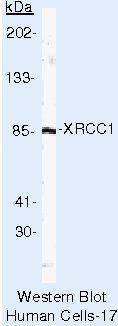 XRCC1 Antibody (MA5-13409)