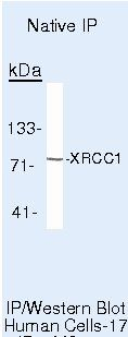 XRCC1 Antibody (MA5-13412) in Immunoprecipitation