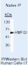 Milk Fat Globule 1 Antibody (MA5-13553) in Immunoprecipitation