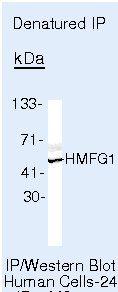 Milk Fat Globule 1 Antibody (MA5-13556) in Immunoprecipitation