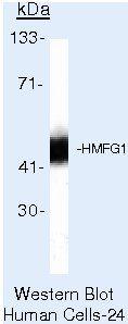 Milk Fat Globule 1 Antibody (MA5-13556) in Western Blot