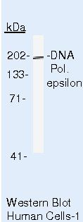 POLE Antibody (MA5-13613) in Western Blot