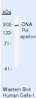 POLE Antibody (MA5-13616) in Western Blot