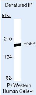 EGFR Antibody (MA5-13694) in Immunoprecipitation