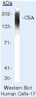 CEA Antibody (MA5-13711)