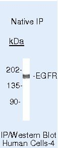 EGFR Antibody (MA5-13877) in Immunoprecipitation