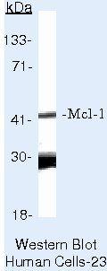 MCL1 Antibody (MA5-13929)