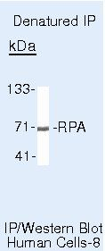 RPA70 Antibody (MA5-13953) in Immunoprecipitation