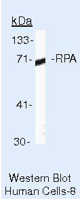 RPA70 Antibody (MA5-13953)