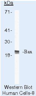 Bax Antibody (MA5-13991) in Western Blot