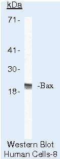 Bax Antibody (MA5-13994) in Western Blot