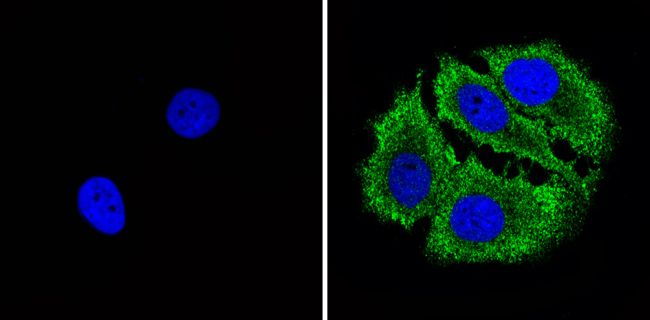 Bax Antibody (MA5-14000) in Immunofluorescence