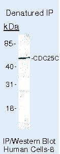 Cdc25C Antibody (MA5-14107) in Immunoprecipitation