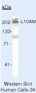 CD171 Antibody (MA5-14140) in Western Blot