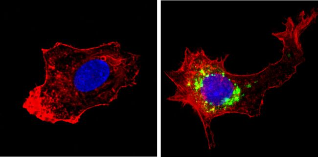 HGF Antibody (MA5-14160) in Immunofluorescence