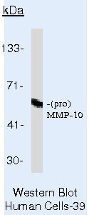 MMP10 Antibody (MA5-14233)