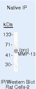 MMP13 Antibody (MA5-14244) in Immunoprecipitation