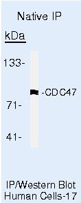 MCM7 Antibody (MA5-14288) in Immunoprecipitation