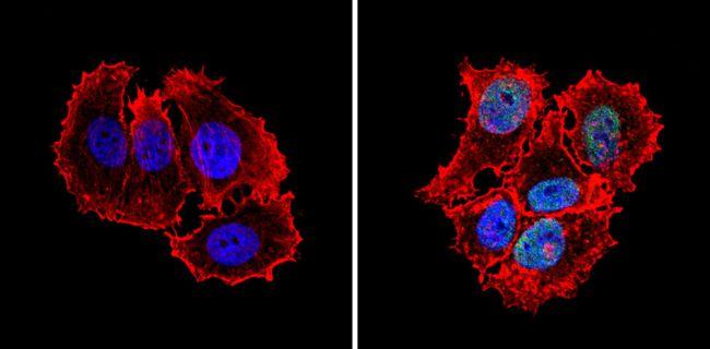 MCM7 Antibody (MA5-14291) in Immunofluorescence