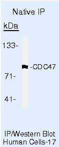 MCM7 Antibody (MA5-14291) in Immunoprecipitation