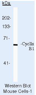 Cyclin B1 Antibody (MA5-14319) in Western Blot