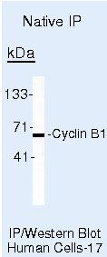 Cyclin B1 Antibody (MA5-14324) in Immunoprecipitation