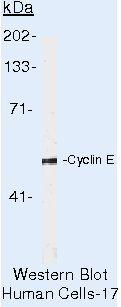 Cyclin E Antibody (MA5-14336) in Western Blot