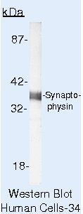 Synaptophysin Antibody (MA5-14532) in Western Blot
