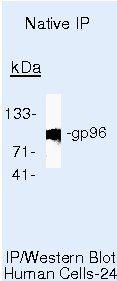 GRP94 Antibody (MA5-14589) in Immunoprecipitation