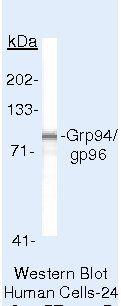 GRP94 Antibody (MA5-14589) in Western Blot