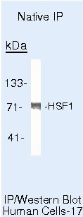 HSF1 Antibody (MA5-14622) in Immunoprecipitation
