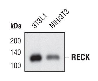 RECK Antibody (MA5-14781) in Western Blot