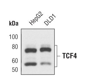 TCF7L2 Antibody (MA5-14811) in Western Blot