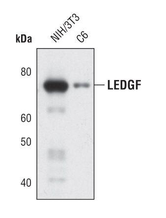 PSIP1 Antibody (MA5-14821) in Western Blot