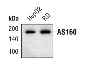 AS160 Antibody (MA5-14840) in Western Blot