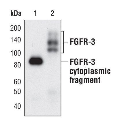 FGFR3 Antibody (MA5-14843) in Western Blot