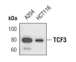 TCF3 Antibody (MA5-14850) in Western Blot