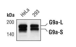 EHMT2 Antibody (MA5-14880) in Western Blot
