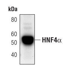 HNF4A Antibody (MA5-14891) in Western Blot