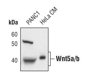 WNT5A Antibody (MA5-14946) in Western Blot