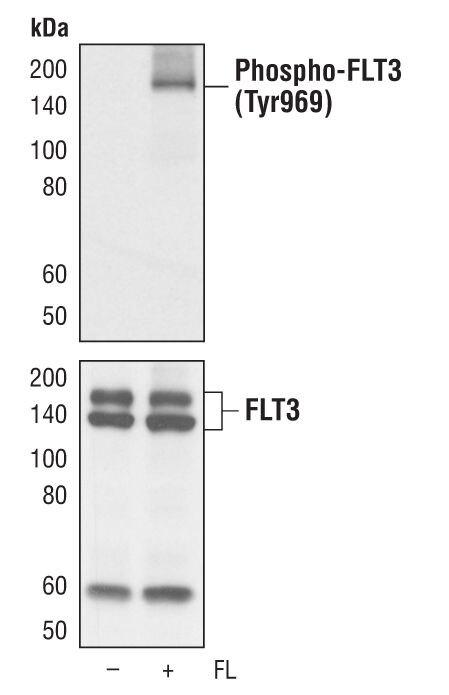 Phospho-FLT3 (Tyr969) Antibody (MA5-14961)
