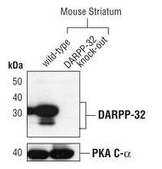DARPP-32 Antibody (MA5-14968) in Western Blot