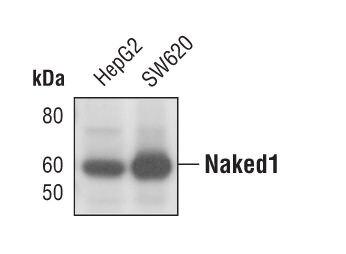 Naked1 Antibody (MA5-14980) in Western Blot