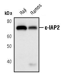 cIAP2 Antibody (MA5-14997)
