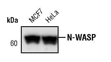 N-WASP Antibody (MA5-15011)