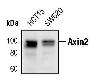 AXIN2 Antibody (MA5-15015)