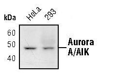 Aurora A Antibody (MA5-15075) in Western Blot