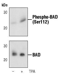 Phospho-BAD (Ser112) Antibody (MA5-15085) in Western Blot