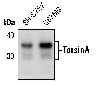 Torsin 1A Antibody (MA5-15094)