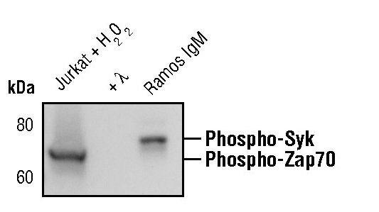 Phospho-ZAP70/Syk (Tyr319, Tyr352) Antibody (MA5-15095)